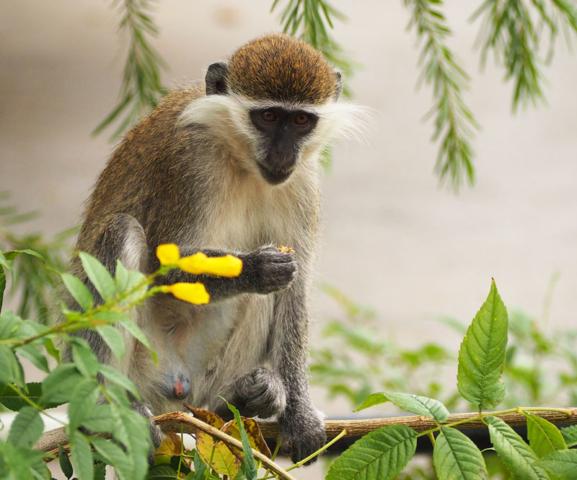 A grivet monkey in Dire Dawa, eastern Ethiopia.