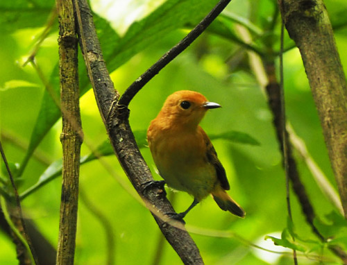 The kakerori was until recently one of the world's rarest birds