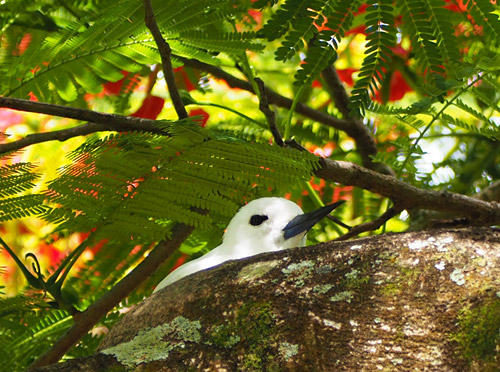 A white tern peeks from its no-frills nest atop a branch
