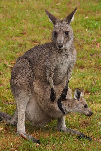 Kangaroo and joey at Halls Gap