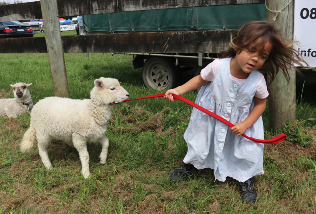 Valhalla, 3, leads a reluctant pet lamb named Sparkleface at the Bay of Islands P&I Show