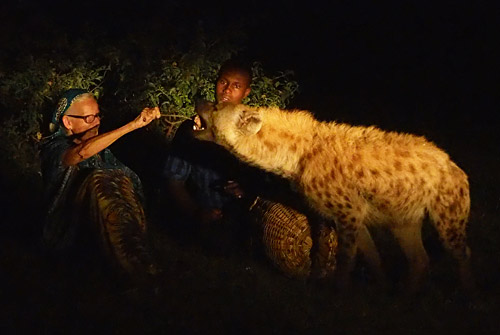 A visitor feeds a hyena under Abbas' watchful eye