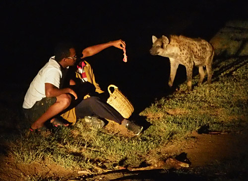 A hyena sniffs a snack offered by a tourist in Harar, Ethiopia