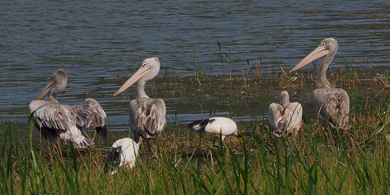 Lake Ruhondo is rich in birdlife, like these pelicans and ibises