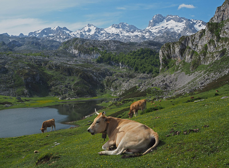 Cows graze by a lake in Picos de Europa (The Peaks of Europe) in a scene reminiscent of the Swiss Alps