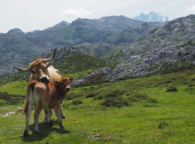 A cow licks its calf in Picos de Europa (The Peaks of Europe), Spain