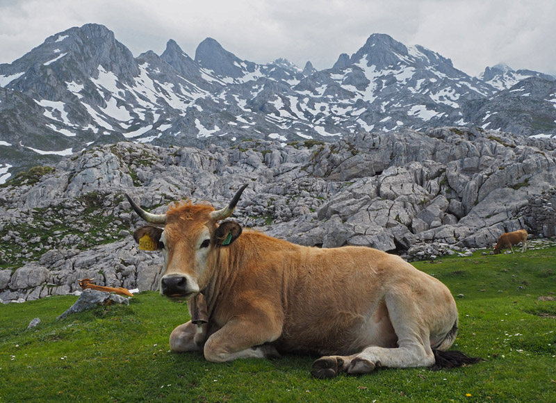 A cow chills out in Picos de Europa (The Peaks of Europe), Spain