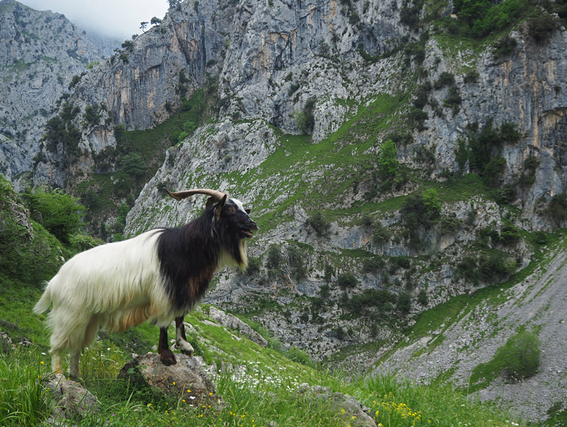 A billy goat puts on a show in Spain's Cares Gorge