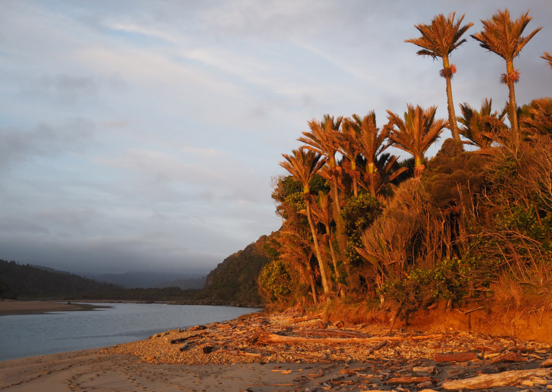 Nikau palms at sunset, Heaphy River estuary