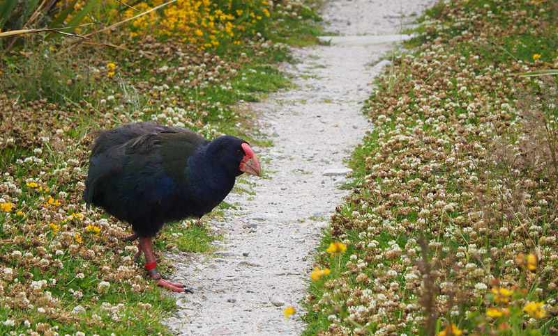 Why did the takahe cross the track?
