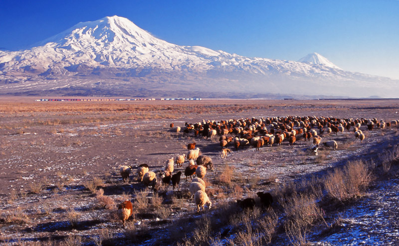 Sheep graze at the foot of Mt Ararat, mythical landing place of Noah's ark