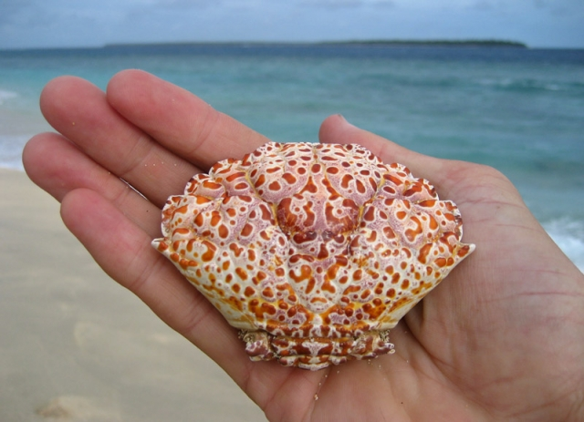 Crab shell on Uoleva Island