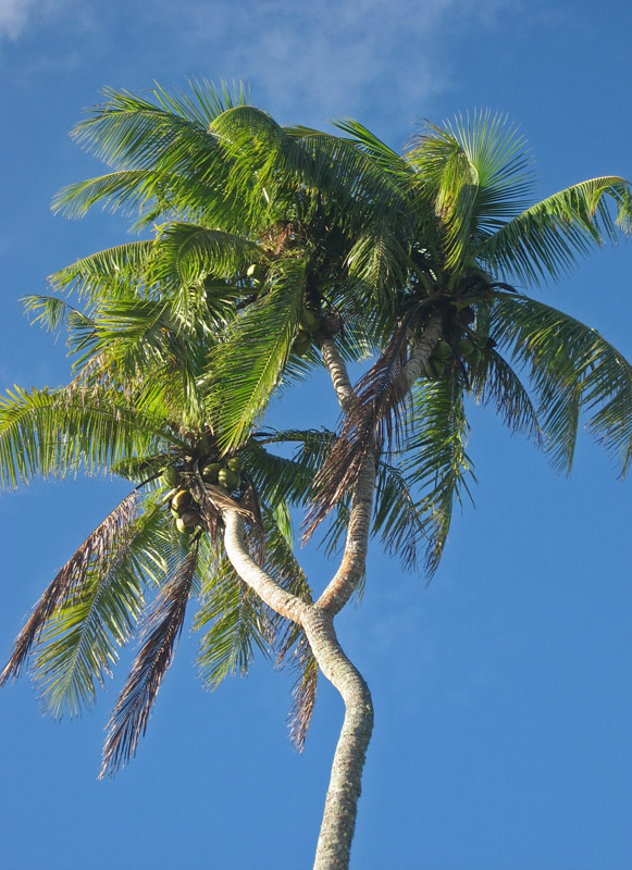 Mutant three-headed coconut palm, Tongatapu
