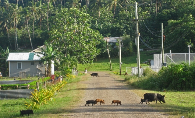 Rush hour on 'Utungake Island