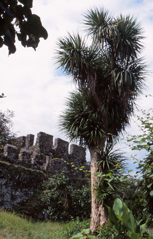 A New Zealand cabbage tree (tī kōuka) at Gonio Fortress on the Black Sea coast