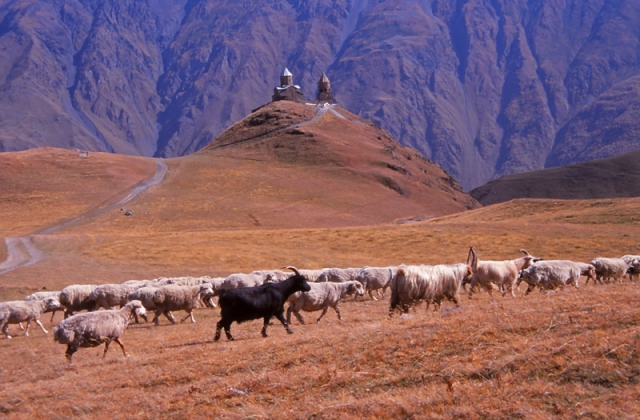 Goats and fat-tailed sheep pass a 14th century church in the Caucasus Mountains