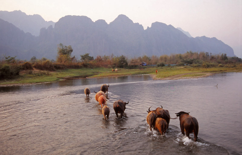 Water buffalo cross the Nam Xong River, Vang Vieng