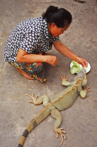A woman feeds her pet iguana in Vientiane
