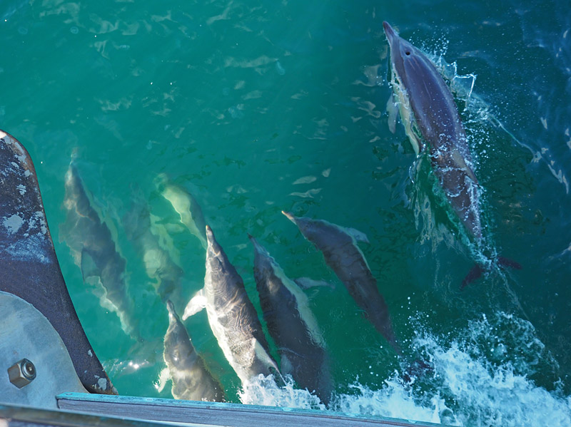 Dolphins escort Affinity to Kumutoto Bay in Queen Charlotte Sound.