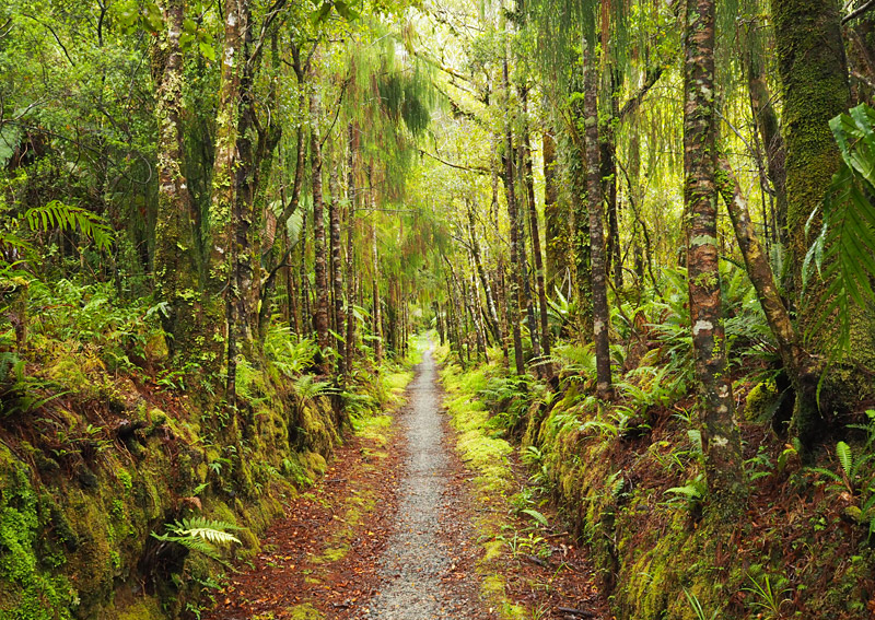 Rimu and beech forest near the Mōkihinui River.