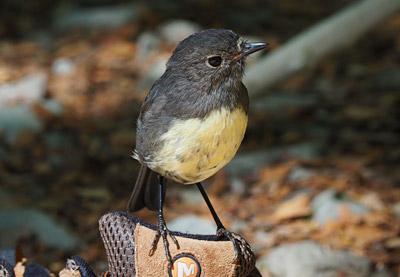 A cheeky South Island robin.