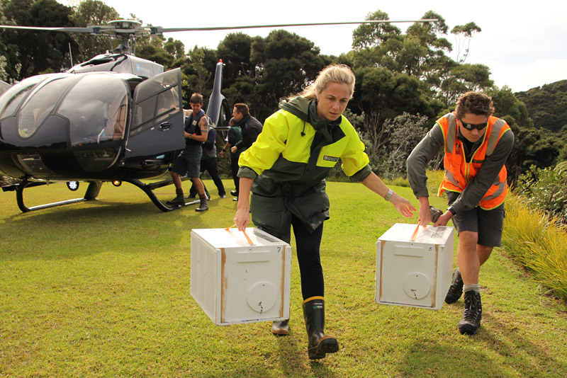 DOC rangers carry pōpokotea (whiteheads) to the release site on Motuarohia Island.