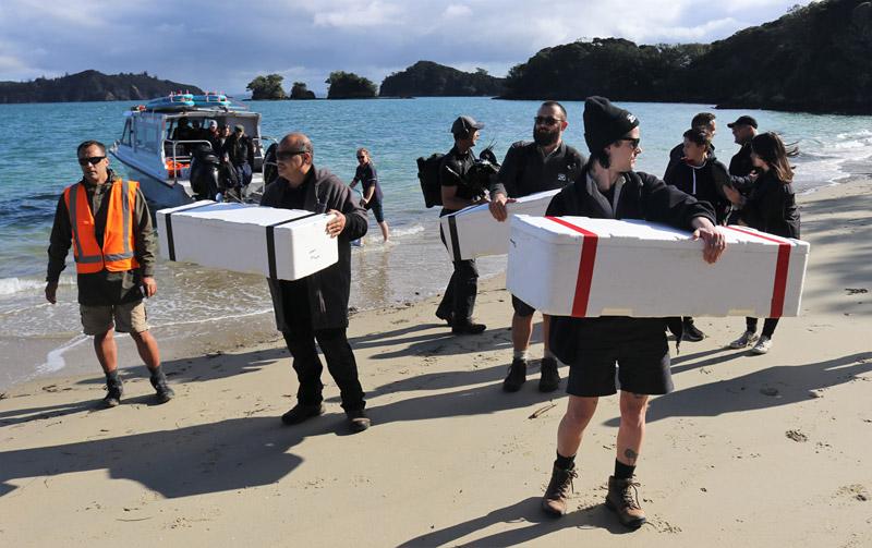 The wētāpunga arrive on Urupukapuka Island ahead of the release. Photo / Peter de Graaf