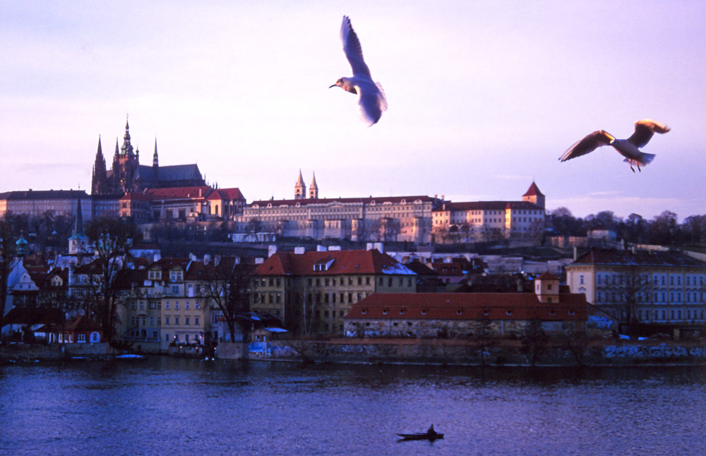 Gulls wheel over the Vltava River with Prague Castle in the distance