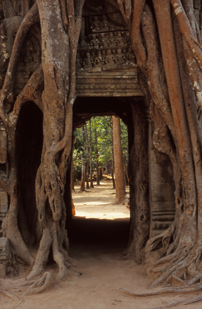 A tree engulfs a gopura (gateway) at the 12th century Ta Som temple