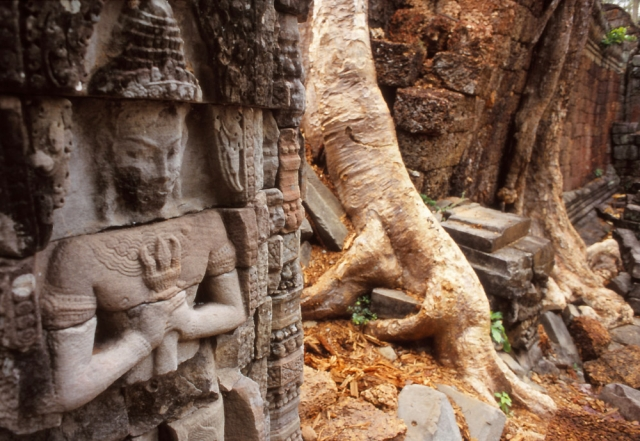 Spong trees engulf the walls of the 12th century Preah Khan temple