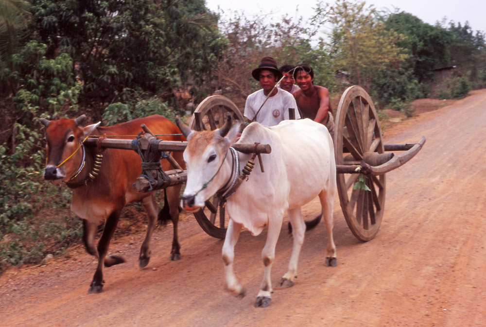 Ox-drawn carts are a common sight in rural Cambodia